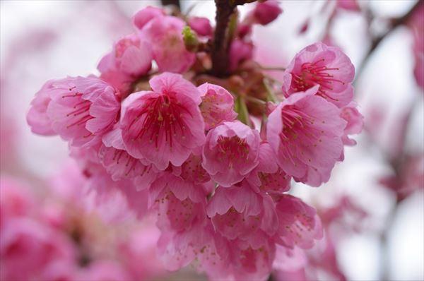 緋寒桜(万座)